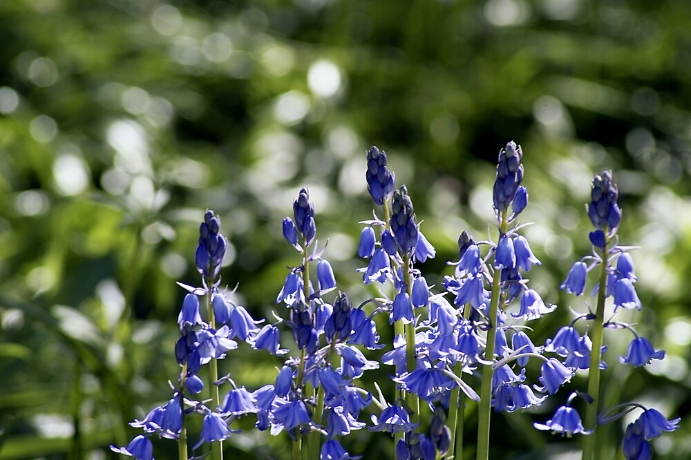 Bluebells by Lennox George