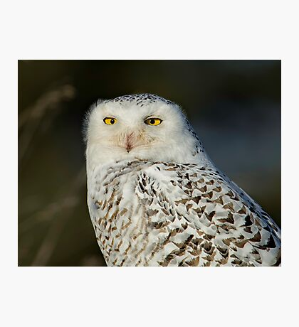 Snowy Owl - Amherst  Photographic Print