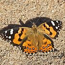 Australian painted  lady by Rick Playle