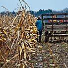 Amish Man picking corn by Marcia Rubin
