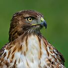 Profile of a Red Tailed Hawk by Daniel  Parent