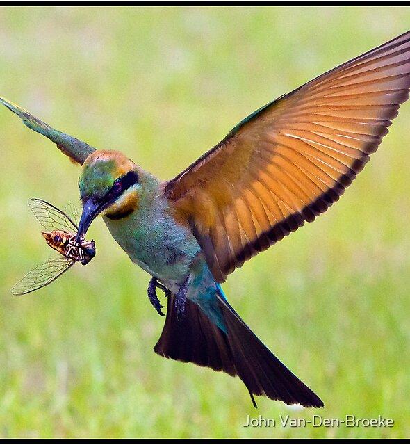 Rainbow Bee-Eater 458 by John Van-Den-Broeke