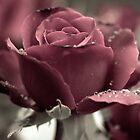 Rose by Amit Ambardar