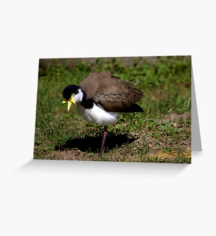 North Head Manly - Masked Lapwing looking for food Greeting Card
