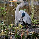 Great Blue Heron In The Wetlands by Kathy Baccari