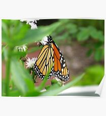 Monarch Butterfly and White flowers  II Poster
