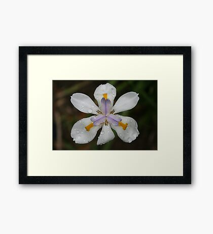 The Rains Are Here: Japanese Iris Framed Print