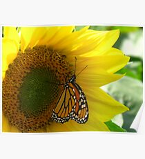 Monarch Butterfly alone on a Sunflower Poster