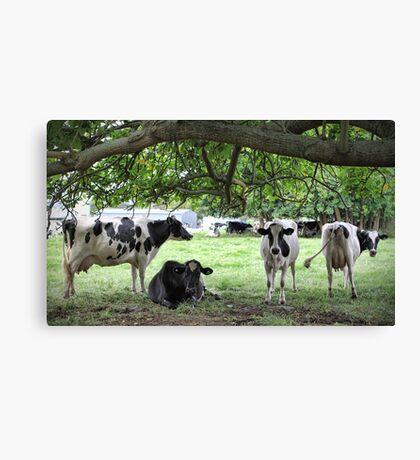 More Dairy Cows Canvas Print