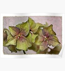 Hydrangea Petals Poster