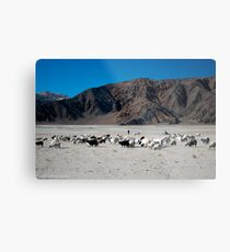 pashmina sheep Metal Print