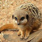 Meerkat by Meladana