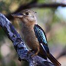 Blue-winged Kookaburra  by naturalnomad