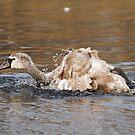 Adolescent Mute Swan Preening by kernuak