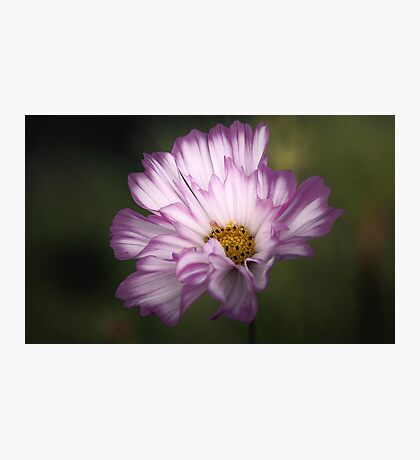 Pink and White Ruffled Cosmos Photographic Print