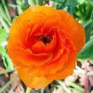 Double Orange Anenome  by DPalmer