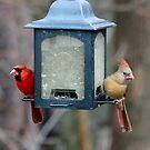 Cardinals by Raider6569