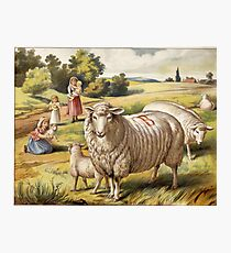 Vinage Picture of Sheep Photographic Print