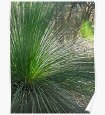 29/1 Grass Trees at Wireless Hill Poster