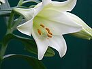 lilywhite for peace:) by LisaBeth