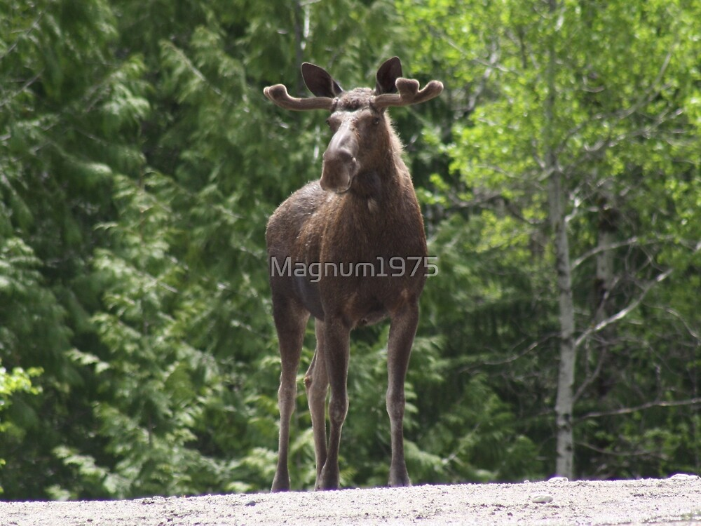 Bull Moose by Magnum1975