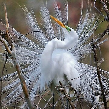 Great White Egret Breeding Plumage by KBaccari
