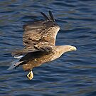 Sea eagle in action by starsofglass