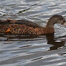 american black duck by dougie1page3