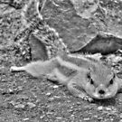 Chipmunk by Sanjay  Kumar