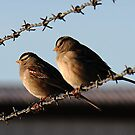 House Sparrows by ZenCowboy