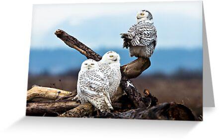 Snowy Owl Family by Jim Stiles