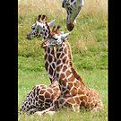 Giraffe Calves by wahboasti