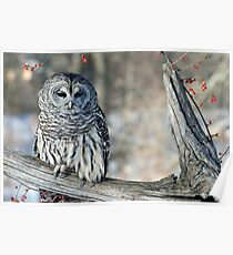 Barred owl for Jean Poster