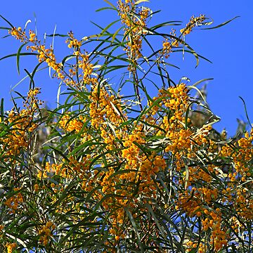 Acacia by gigges