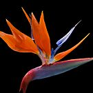 Bird of Paradise on Black by Geoffrey Higges