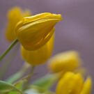 Soft Tulips by Karen Havenaar