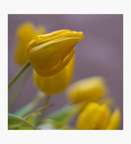 Soft Tulips Photographic Print