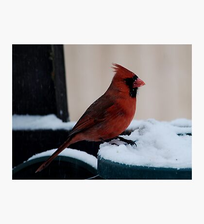 Cardinal Awaits Photographic Print