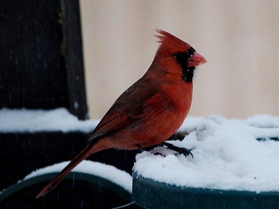 Cardinal Awaits by Barry Doherty