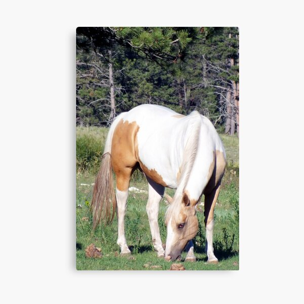 Grazing Pinto Canvas Print