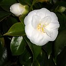 White Camellia by Barry Norton