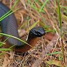 Red Belly Black Snake by Richard  Windeyer