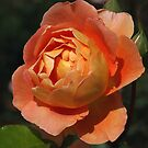 Apricot Rose by Geoffrey Higges