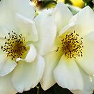 White Roses by Geoffrey Higges
