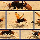 North Head Manly - The Wasp !!! by miroslava