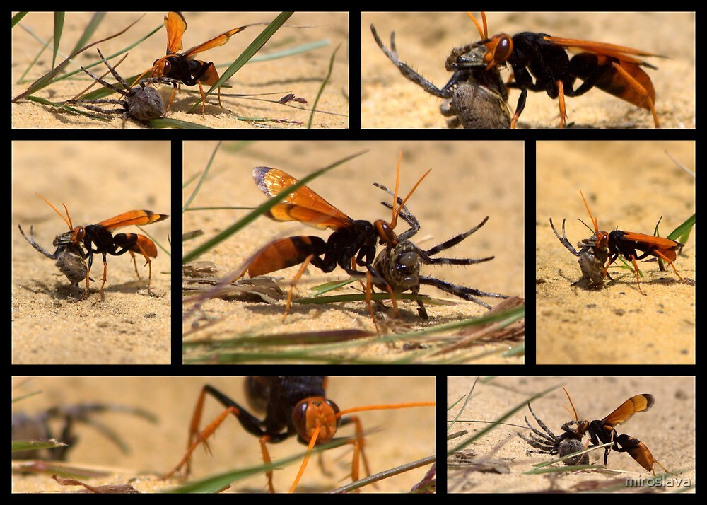 North Head Manly - Wasp and his kill ! by miroslava