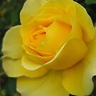 Yellow Rose by Geoffrey Higges