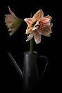 amaryllis  by Kyoko Beaumont