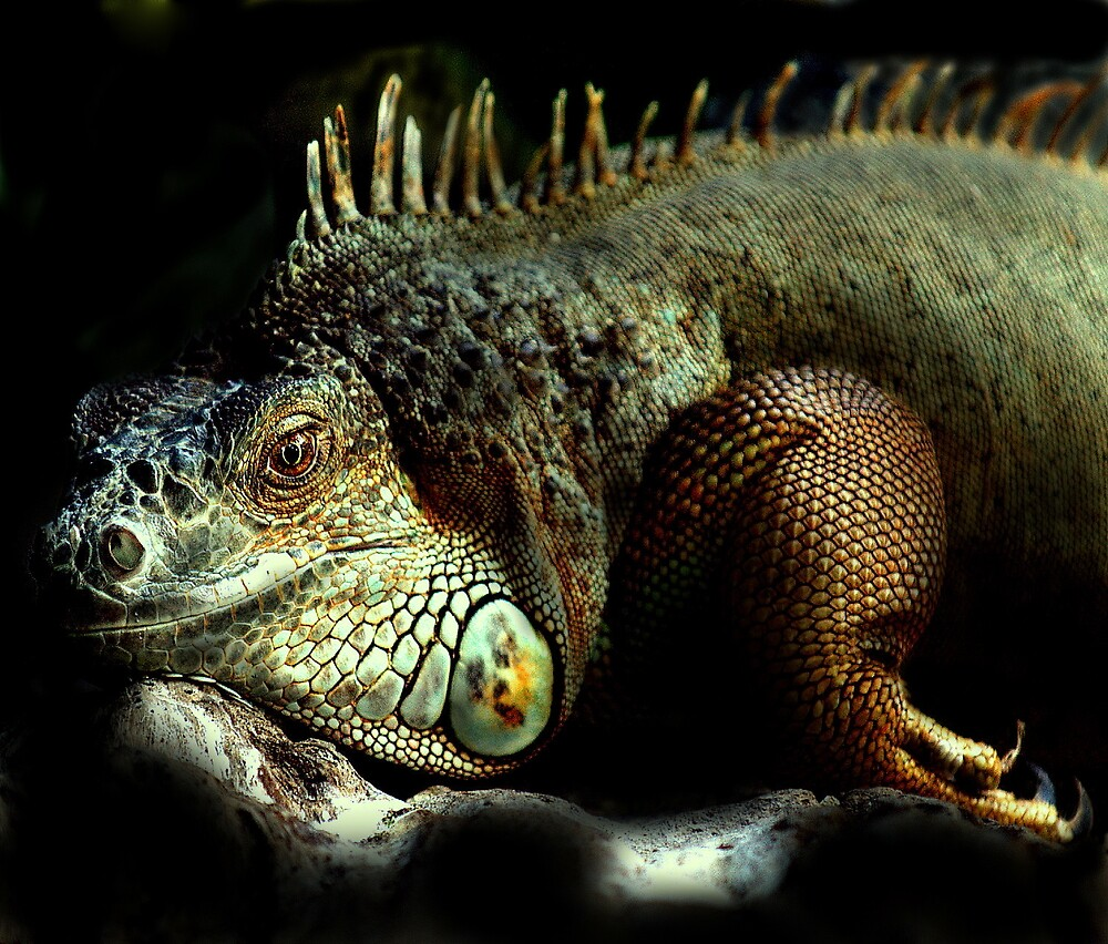 Resting Iguana by Alan Mattison