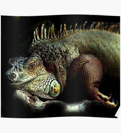 Resting Iguana Poster